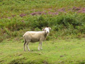 Exmoor Schaf