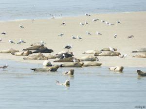 Seehundbank vor Nordstrand