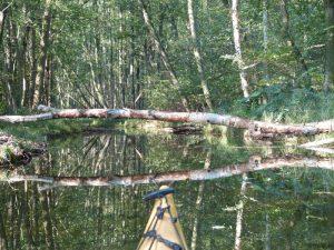 Baum Schwaanhavel