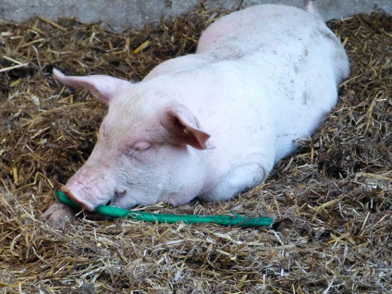 Schweinchen spielt