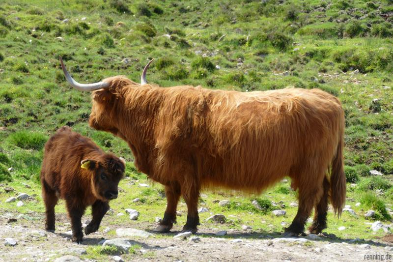 Hochland Rinder